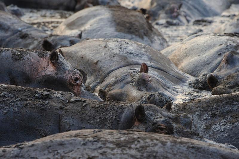 Hippos - Katavi National Park, Tanzania