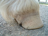 Note crack in hoof wall close to lateral heel.