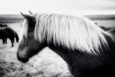 Iceland Horse 6