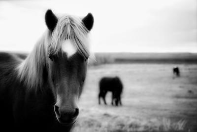 Iceland Horse 4