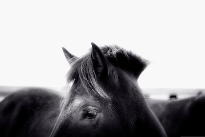 Iceland Horse 2