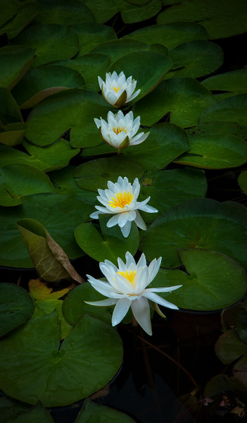 Four Lilies.jpg