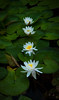 Four Lilies
