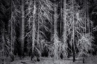 Yosemite Trees 2