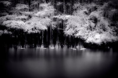 Caddo Lake Lilies