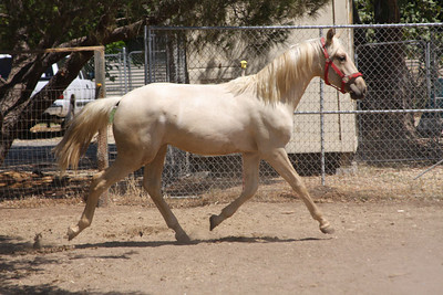 Lourinho AFA, 2008 Andalusian colt; Saphiro x Heredera