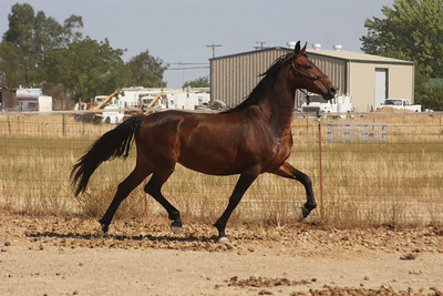 Southern Comfort (Savannah Rose), 2006 Friesian x Saddlebred mare; Uno x Vegas Doll