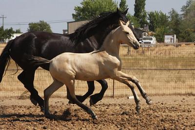 Abacus Xanthus, 2009 Warlander colt; Saphiro x Xuxa