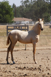 Isadora AFA, 2009 Andalusian filly; Saphiro x Heredera