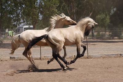 Abacus Xanto, 2008 Warlander colt; Saphiro x Xuxa Lourinho AFA, 2008 Andalusian colt; Saphiro x Heredera
