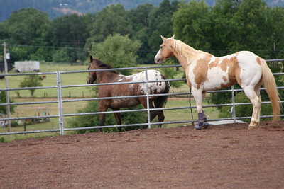 Cochise decided to say hi to the appy in the pasture next to the arena. The appy was not exactly pleased...