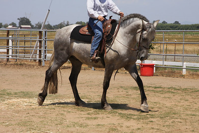 Arroyo's Top Hat and Tails (Friesian x Lipizzan)