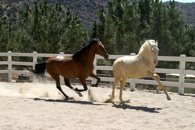 Bravia and Guindaleza  owned by Sommer Ranch