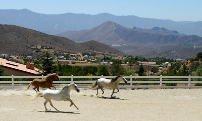 Three andalusian mares owned by Sommer Ranch, Acton, CA