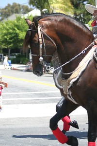 Bay Andalusian stallion at the Santa Barbara Spanish Parade, August 2004