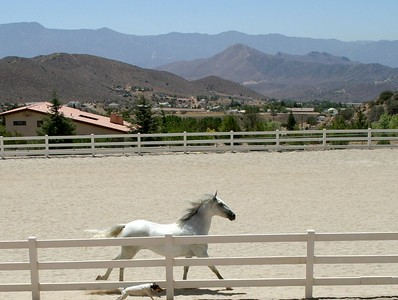 Grey mare owned by Sommer Ranch, Acton, CA