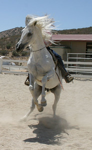 Andalusian stallion Cordero spinning