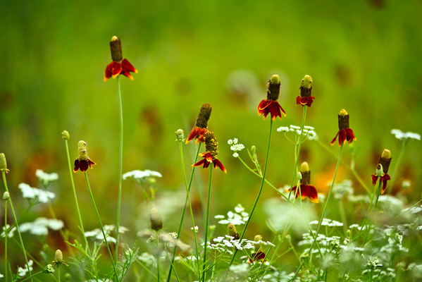 Mexican Hat wildflower and Queen Anne's Lace