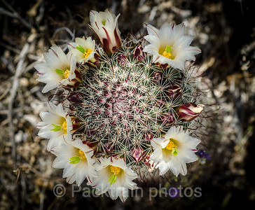 Fishhook Cactus in Bloom - FCB-2