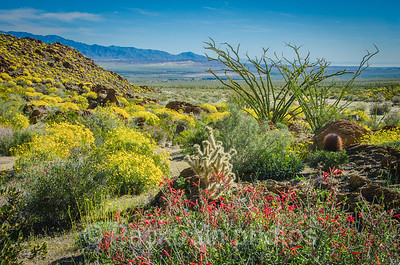 Borrego Desert Vista in Bloom  - BDVB - 1