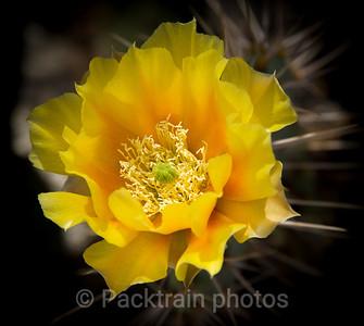 Borrego Desert Cactus Flower  - DCB-1