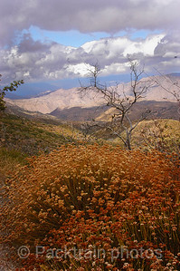 Wild Buckwheat  Fall Vista - WBFV - 1