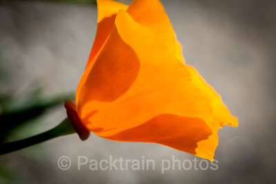California Poppy  - CP3