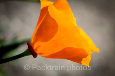 California Poppy  - CP3