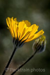 Sunflower Glow -  SG1
