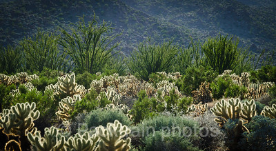 Choya and Ocotillo Forest - Item # COF-1