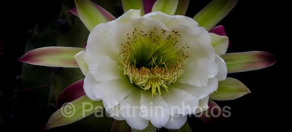 White Cactus Flower - WCF - 1