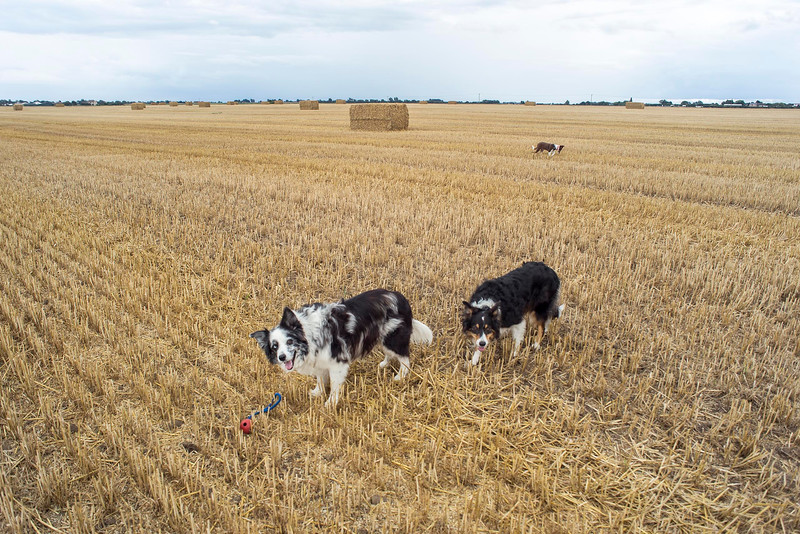 Sun 28th Aug : Out On The Stubble Field On Stow Fen
