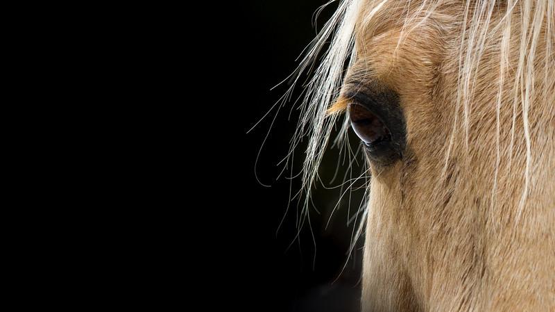 Soft Focus  (Cowboy, Palomino gelding, RI)