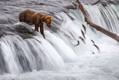 Brown Bear Waiting For The Perfect Moment