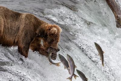 Sockeye Salmon Hunt
