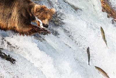 Sockeye Salmon Run