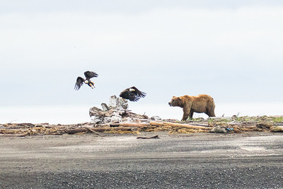 Katmai Bear Trip July 2017