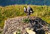 Bald_Eagle_August_2020_Katmai_Alaska_0024