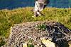 Bald_Eagle_August_2020_Katmai_Alaska_0030