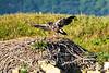 Bald_Eagle_August_2020_Katmai_Alaska_0021