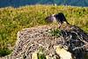 Bald_Eagle_August_2020_Katmai_Alaska_0028