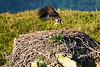 Bald_Eagle_August_2020_Katmai_Alaska_0029