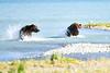 Boar_River_Confrontation_August_2020_Katmai_Alaska_0009