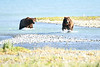 Boar_River_Confrontation_August_2020_Katmai_Alaska_0017