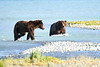 Boar_River_Confrontation_August_2020_Katmai_Alaska_0014