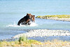 Boar_River_Confrontation_August_2020_Katmai_Alaska_0006