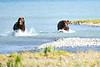 Boar_River_Confrontation_August_2020_Katmai_Alaska_0011
