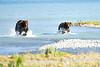 Boar_River_Confrontation_August_2020_Katmai_Alaska_0010
