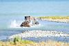 Boar_River_Confrontation_August_2020_Katmai_Alaska_0005