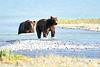 Boar_River_Confrontation_August_2020_Katmai_Alaska_0018